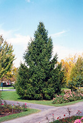 Norway Spruce (Picea abies) at Cole's Florist & Garden Centre