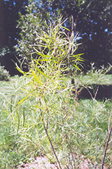Coyote Willow (Salix exigua) at Cole's Florist & Garden Centre