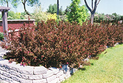 Wine and Roses® Weigela (Weigela florida 'Alexandra') at Cole's Florist & Garden Centre