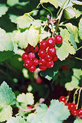 Red Currant (Ribes sativum) at Cole's Florist & Garden Centre