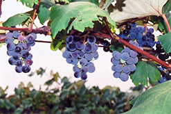 Concord Grape (Vitis 'Concord') at Cole's Florist & Garden Centre