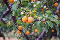 Goldcot Apricot (Prunus armeniaca 'Goldcot') at Cole's Florist & Garden Centre