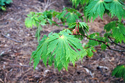 Fullmoon Maple (Acer japonicum) at Cole's Florist & Garden Centre