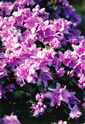 Ramapo Rhododendron (Rhododendron 'Ramapo') at Cole's Florist & Garden Centre