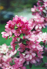 Indian Magic Flowering Crab (Malus 'Indian Magic') at Cole's Florist & Garden Centre