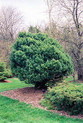 Waterer Scotch Pine (Pinus sylvestris 'Watereri') at Cole's Florist & Garden Centre