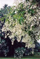 Yellowwood (Cladrastis lutea) at Cole's Florist & Garden Centre
