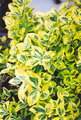 Sungold Wintercreeper (Euonymus fortunei 'Sungold') at Cole's Florist & Garden Centre