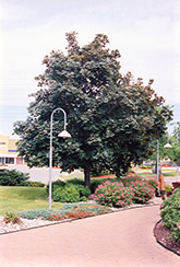 Deborah Norway Maple (Acer platanoides 'Deborah') at Cole's Florist & Garden Centre