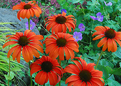 Tangerine Dream Coneflower (Echinacea 'Tangerine Dream') at Cole's Florist & Garden Centre