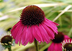 Raspberry Tart Coneflower (Echinacea 'Raspberry Tart') at Cole's Florist & Garden Centre