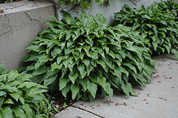 Invincible Hosta (Hosta 'Invincible') at Cole's Florist & Garden Centre