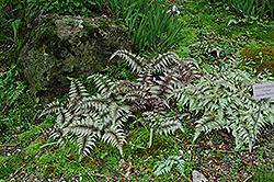 Japanese Painted Fern (Athyrium nipponicum 'Pictum') at Cole's Florist & Garden Centre