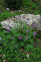 Pasqueflower (Pulsatilla vulgaris) at Cole's Florist & Garden Centre