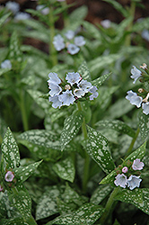 Opal Lungwort (Pulmonaria 'Opal') at Cole's Florist & Garden Centre
