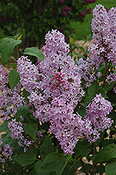 Edward Andre Lilac (Syringa vulgaris 'Edward Andre') at Cole's Florist & Garden Centre