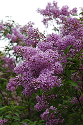 Chinese Lilac (Syringa x chinensis) at Cole's Florist & Garden Centre