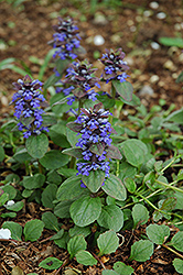 Caitlin's Giant Bugleweed (Ajuga reptans 'Caitlin's Giant') at Cole's Florist & Garden Centre