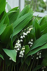 Lily-Of-The-Valley (Convallaria majalis) at Cole's Florist & Garden Centre