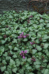 Red Nancy Spotted Dead Nettle (Lamium maculatum 'Red Nancy') at Cole's Florist & Garden Centre