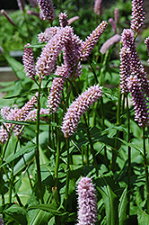 Pink Snakeweed (Persicaria bistorta 'Superba') at Cole's Florist & Garden Centre