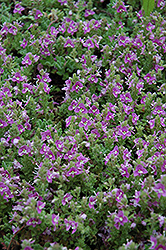 Pink Creeping Speedwell (Veronica repens 'Rosea') at Cole's Florist & Garden Centre