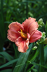 Siloam French Doll Daylily (Hemerocallis 'Siloam French Doll') at Cole's Florist & Garden Centre