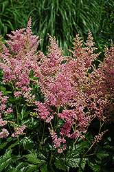 Amethyst Astilbe (Astilbe x arendsii 'Amethyst') at Cole's Florist & Garden Centre