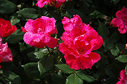 Knock Out® Rose (Rosa 'Radrazz') at Cole's Florist & Garden Centre