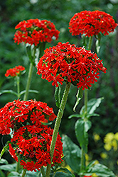 Maltese Cross (Lychnis chalcedonica) at Cole's Florist & Garden Centre