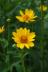 False Sunflower (Heliopsis helianthoides) at Cole's Florist & Garden Centre