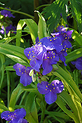Sweet Kate Spiderwort (Tradescantia x andersoniana 'Sweet Kate') at Cole's Florist & Garden Centre