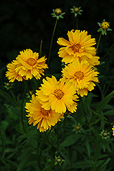 Early Sunrise Tickseed (Coreopsis 'Early Sunrise') at Cole's Florist & Garden Centre