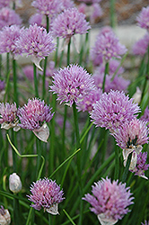 Chives (Allium schoenoprasum) at Cole's Florist & Garden Centre