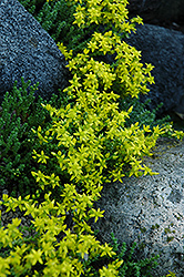 Six Row Stonecrop (Sedum sexangulare) at Cole's Florist & Garden Centre