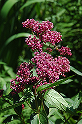 Swamp Milkweed (Asclepias incarnata) at Cole's Florist & Garden Centre