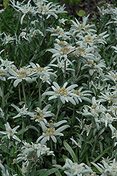Alpine Edelweiss (Leontopodium alpinum) at Cole's Florist & Garden Centre