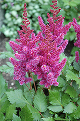 Visions Astilbe (Astilbe chinensis 'Visions') at Cole's Florist & Garden Centre
