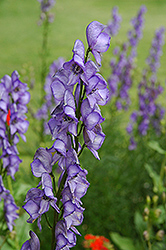 Common Monkshood (Aconitum napellus) at Cole's Florist & Garden Centre