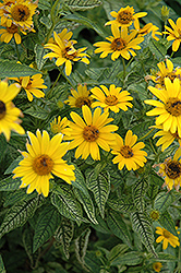 Loraine Sunshine False Sunflower (Heliopsis helianthoides 'Loraine Sunshine') at Cole's Florist & Garden Centre