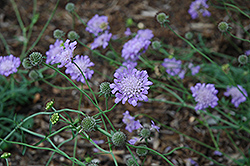 Butterfly Blue Pincushion Flower (Scabiosa 'Butterfly Blue') at Cole's Florist & Garden Centre
