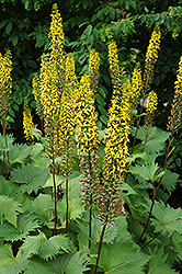 The Rocket Rayflower (Ligularia 'The Rocket') at Cole's Florist & Garden Centre
