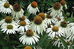 White Swan Coneflower (Echinacea purpurea 'White Swan') at Cole's Florist & Garden Centre