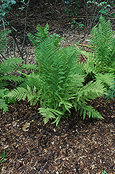 Lady Fern (Athyrium filix-femina) at Cole's Florist & Garden Centre