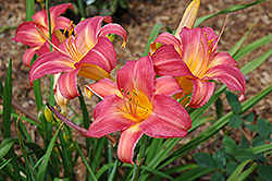 Cherry Cheeks Daylily (Hemerocallis 'Cherry Cheeks') at Cole's Florist & Garden Centre