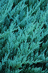 Blue Chip Juniper (Juniperus horizontalis 'Blue Chip') at Cole's Florist & Garden Centre