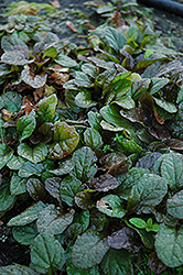 Bronze Beauty Bugleweed (Ajuga reptans 'Bronze Beauty') at Cole's Florist & Garden Centre