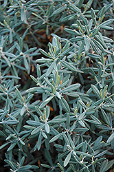 Blue Ice Bog Rosemary (Andromeda polifolia 'Blue Ice') at Cole's Florist & Garden Centre