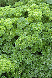 Parsley (Petroselinum crispum) at Cole's Florist & Garden Centre