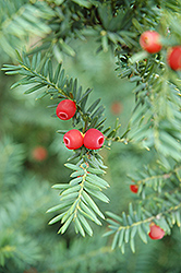 Japanese Yew (Taxus cuspidata) at Cole's Florist & Garden Centre